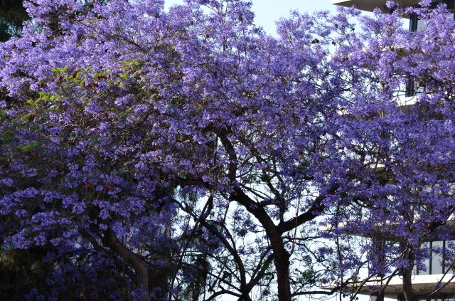 Jacaranda trees in full bloom all over the city.