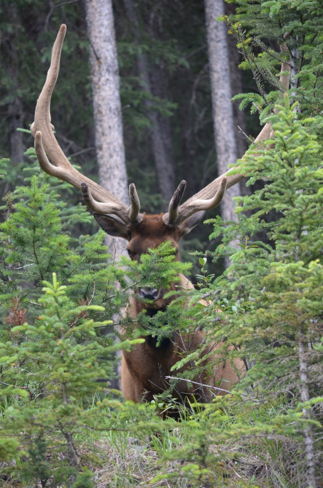 An elk with a huge set of antlers.