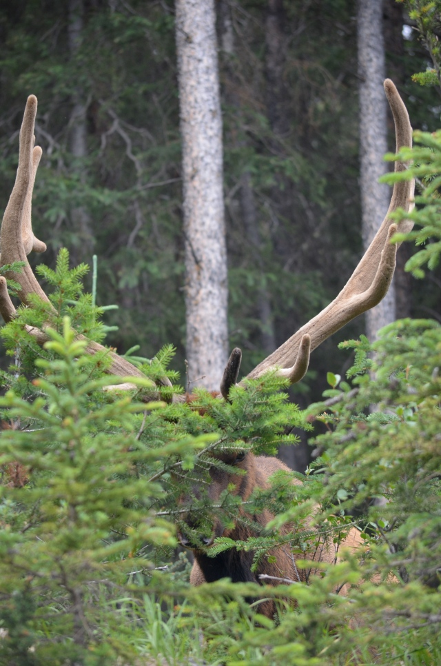 The elk was just teasing all of us and not stepping out behind the bush.