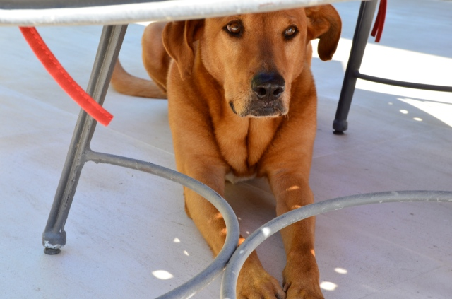 Truff planting himself under the table hoping for some unexpected morsels.