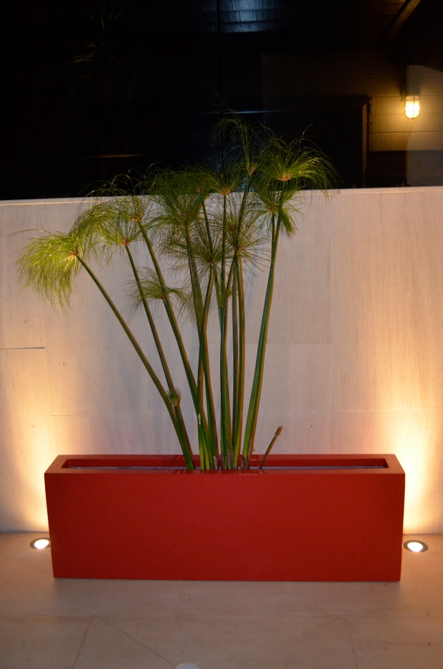 Cyperus papyrus is also an invasive water plant, so it's best kept confined to a non-draining planter.